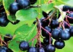 Черноплодная рябина красивая, вкусная, полезная
