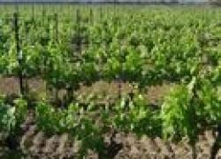 Внекорневые подкормки винограда