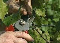 Основные правила обрезки винограда
