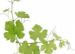 Что обрывать на винограде