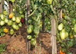 Наш опыт с мульчей и томатами