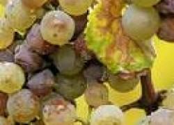 Почему сохнет виноградник