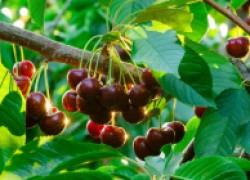 Почему не плодоносит черешня