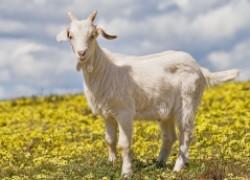 Моя козочка больше не хочет козлят
