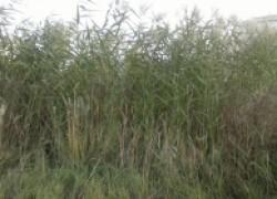 Как избавиться от камыша на огороде