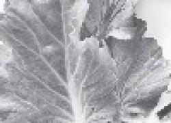 Мастопатию лечим капустой