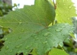 Почему скручиваются листья