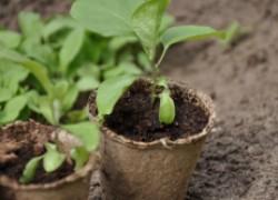 Чтобы вырастить рассаду баклажанов, просто сделайте «улитку»