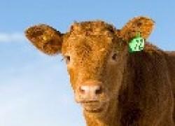 Чем кормить теленка?