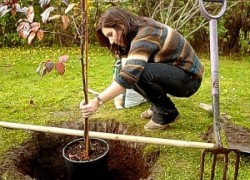 Сажаем фруктовые деревья правильно