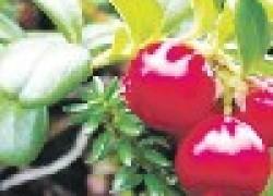 Можно ли вырастить бруснику