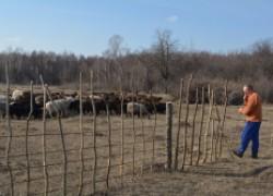 Мать и сын НОВИЧИХИНЫ: Наше стадо овец начиналось с пяти голов
