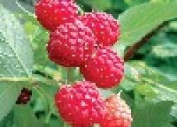 Вредители на малине