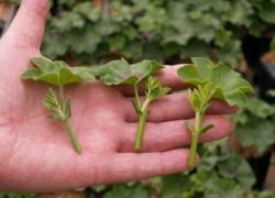 Домашние средства для стимуляции роста корней