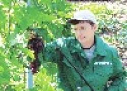 Защита винограда перед созреванием