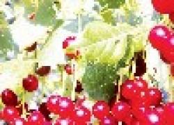 Полезный союз вишни и черемухи