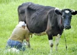 У коровы проблемы с доением