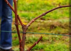В каком случае виноград обрезают на одну почку