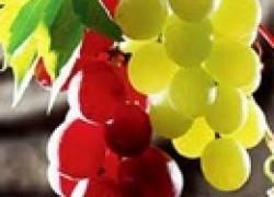 Виноград с самыми крупными ягодами
