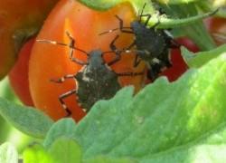 Какие-то гады съели мои помидоры