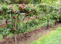Как сделать кордон из саженцев яблони, груши, смородины