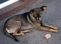 Собака-бродяжка