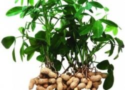 Земляной орех – арахис