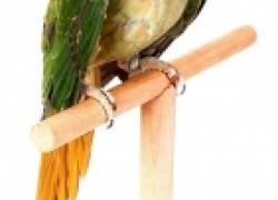 Как помирить попугаев