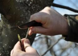 Прививка яблони с помощью окулировки (почкой). Мастер-класс