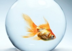 Вся правда о золотой рыбке