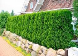 Зеленый забор из туи