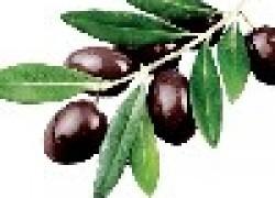 Оливки из терна