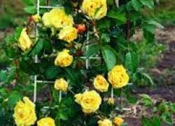 Роза желтая моя