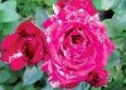 Татьяна ЛЫБИНА: «Я создала свой розарий из зеленых черенков»