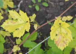 Бледнеют листья винограда