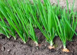 У меня получается вырастить красивый лук. А у вас?