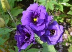 Сажаем эустому в своем саду