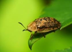 Как избавиться от жука-черепашки