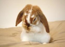 Пораженная печень у кролика