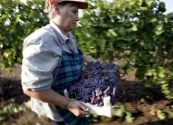 Возраст плодоношения винограда