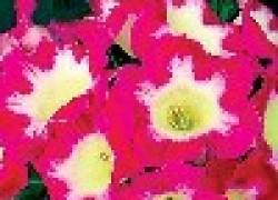 Красавица глоксиния