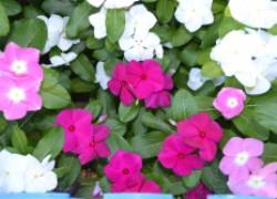 В своем цветнике выращиваю комнатный катарантус