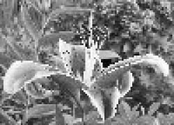 Пожелтели листья лилии