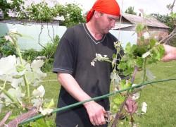 Куст винограда вымерз на уровне почвы – что делать?