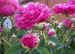 Пион - цветок пробуждения жизни