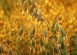 Овес – рыхлитель почвы