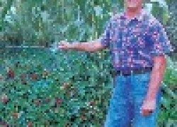 Как я выращиваю землянику на шпалерах
