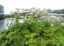 4 самых опасных огородных сорняка