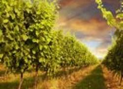 Зачем обрывают листья у винограда