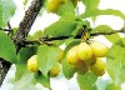 Желтый кизил